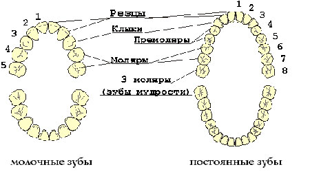 Фото: схема замены молочных зубов постоянными